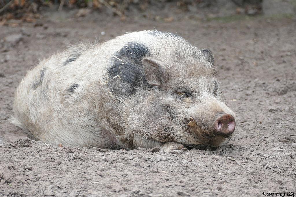 Göttinger Minischwein
