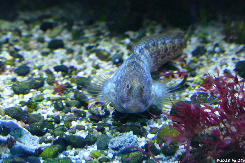 Spitzkopf-Schleimfisch