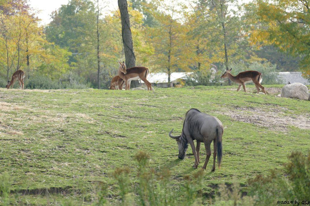 Südliches Streifengnu (Blaues Gnu), Gewöhnliche Impala (Schwarzfersenantilope)