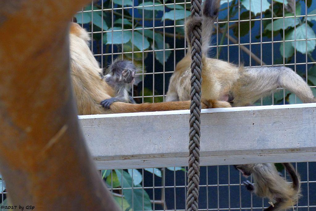 Geoffroy-Klammeraffe (Schwarzhand-Klammeraffe)