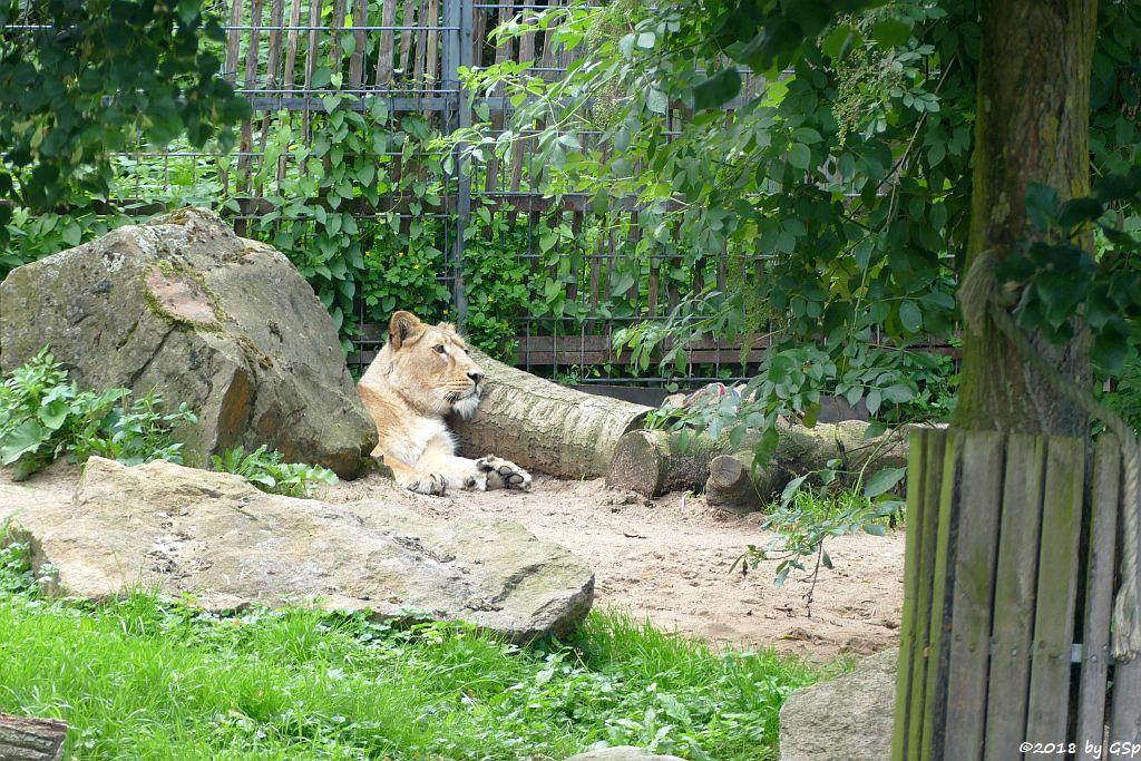 Asiatische Löwin (Indische Löwin) GINA