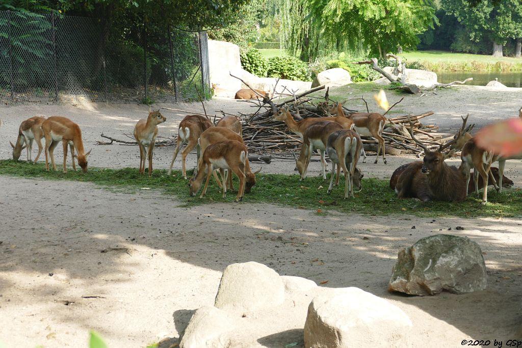Hirschziegenantilope (Sasin), Vietnam-Sikahirsch