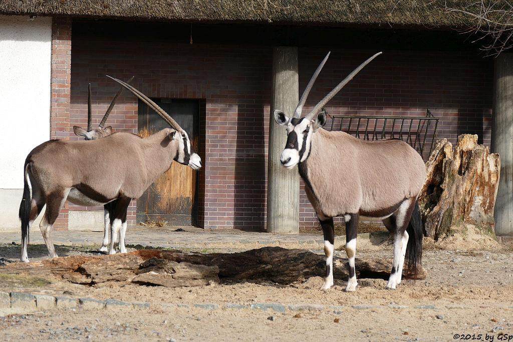 Südafrikanische Oryxantilope