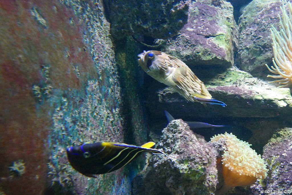 Gelbschwanz-Kaiserfisch (Ostafrika-Kaiserfisch), Braunflecken-Igelfisch (Ballonigelfisch, Langstachel-Igelfisch)