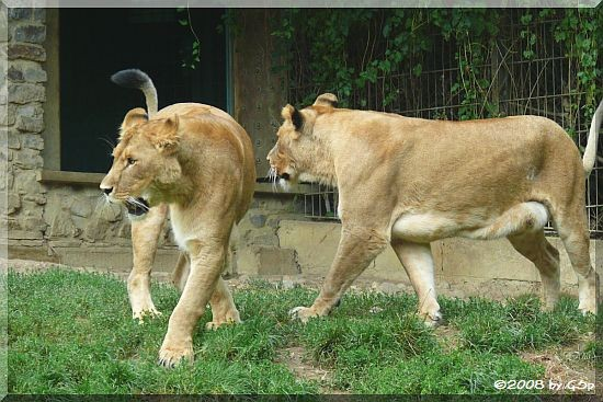 Die Löwenmütter SHABA und NYOTA