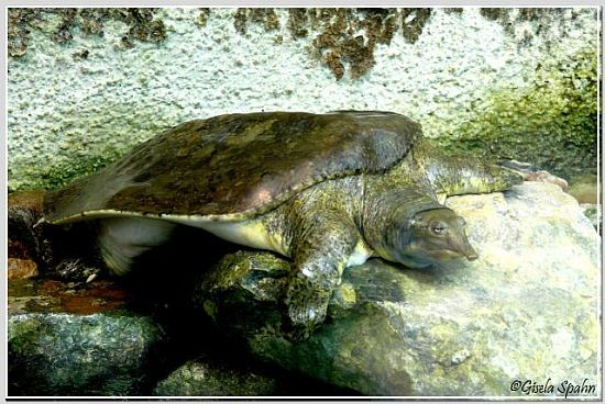 Florida-Weichschildkröte