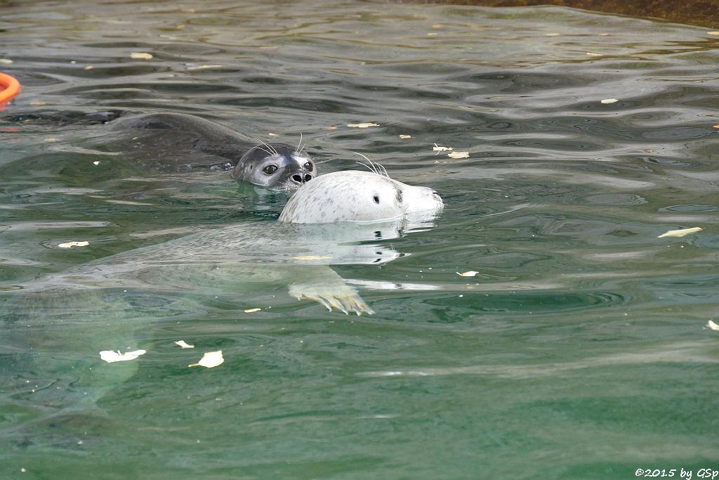 Ostatlantischer (Europäischer) Seehund