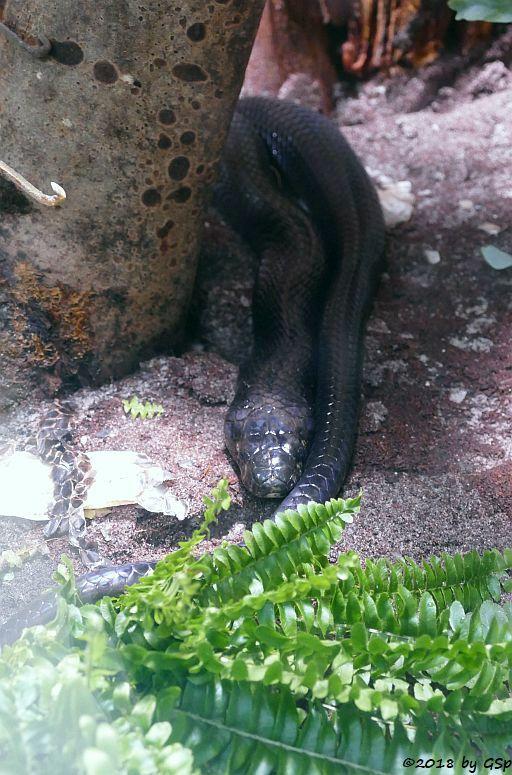 Schwarzweiße Kobra (Waldkobra, Weißlippenkobra)