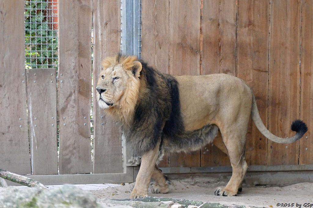 Indischer Löwe KASCHI