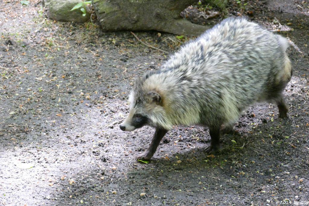 Marderhund (Enok, Waschbärhund)