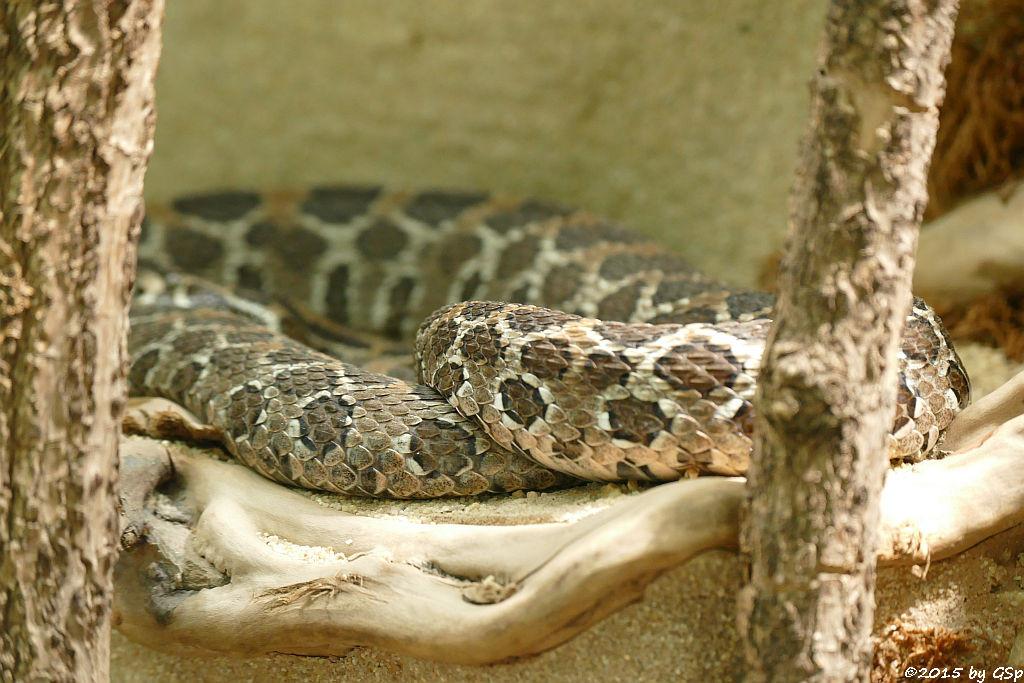 Mexikanische Lanzenkopf-Klapperschlange