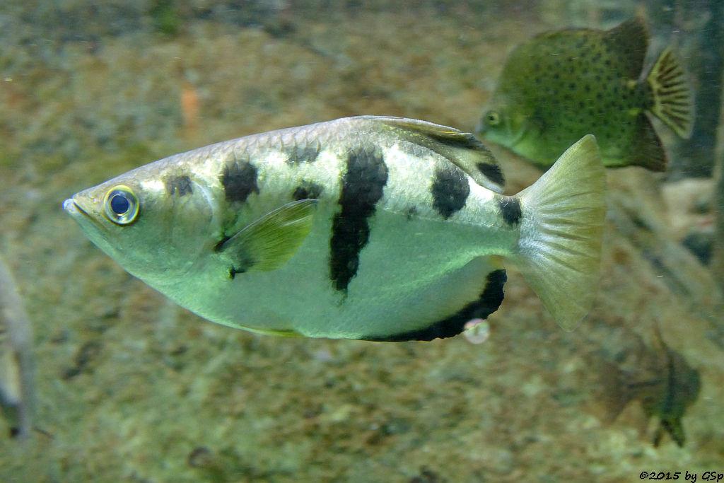 Schützenfisch, Rotstirn-Argusfisch