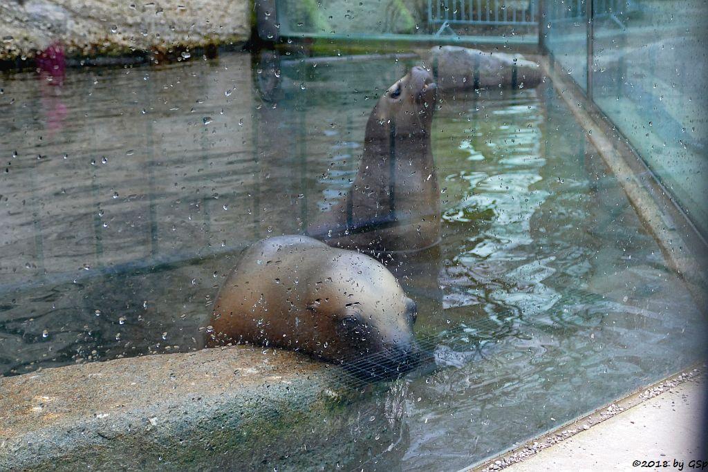 Robbenkindergarten: Mähnenrobbe (Südamerikanischer Seelöwe)