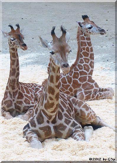 Rothschild-Giraffe LARA, KALOU und MELMAN