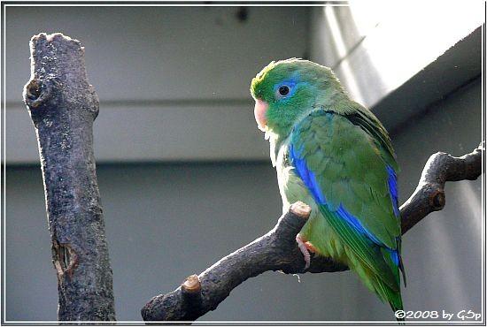 Augenrings-Sperlingspapagei (Brillenpapagei)