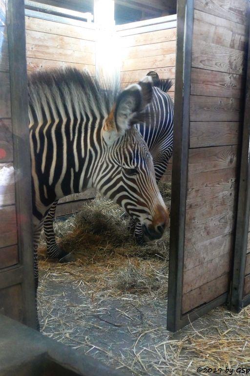 Grévy-Zebra-Stute MALA, geb. am 9.11.18