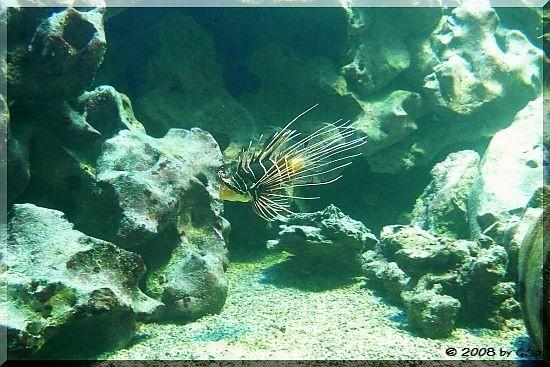 Stahlenfeuerfisch