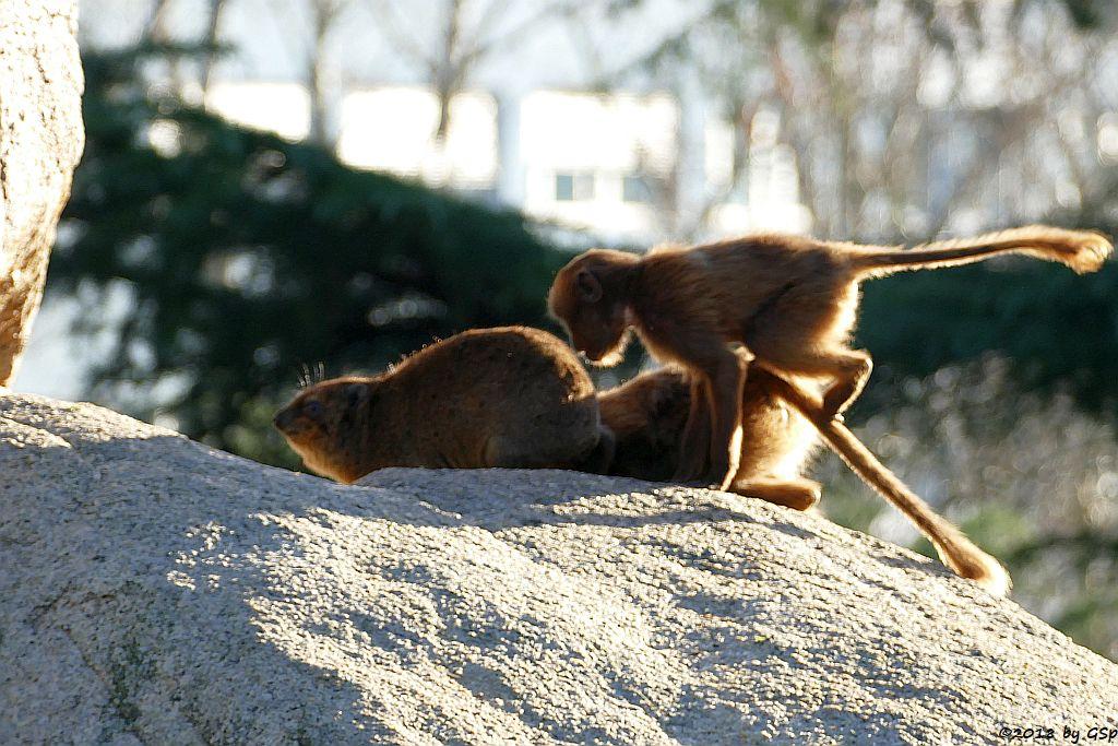 Klippschliefer (Kap-Klippschliefer), Blutbrustpavian (Dschelada)