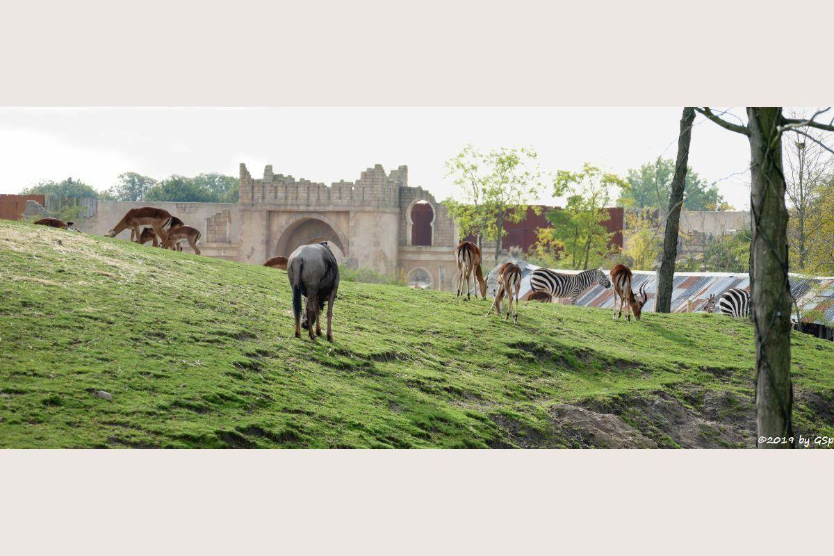 Südliches Streifengnu (Blaues Gnu), Gewöhnliche Impala (Schwarzfersenantilope), Böhm-Steppenzebra (Grant-Zebra)