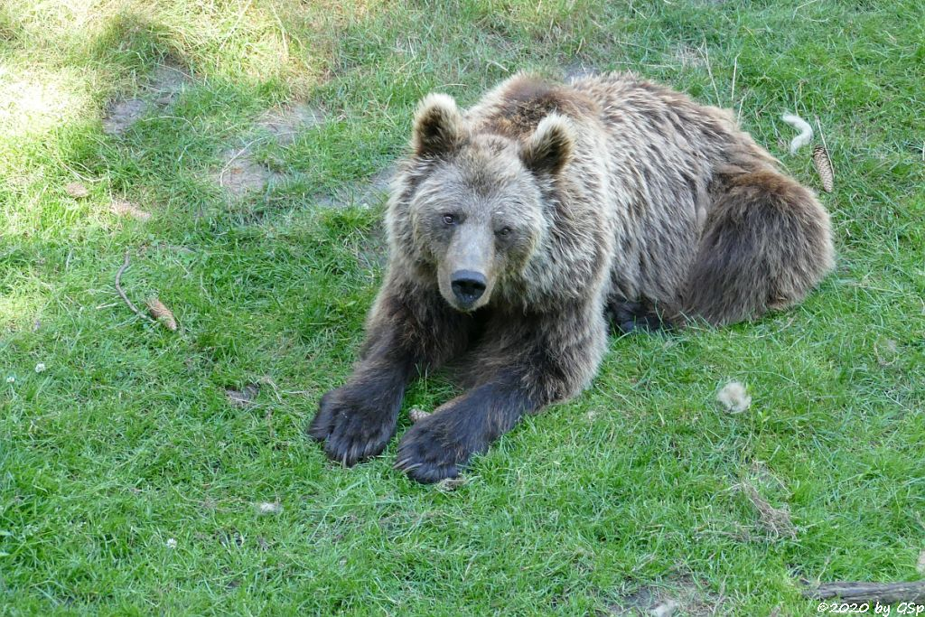 Eurasischer Braunbär