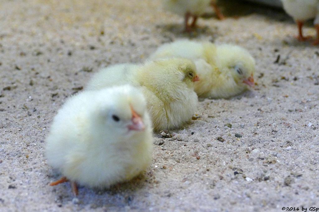 Hühnerküken 1. Lebenswoche