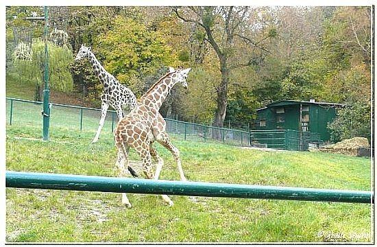Rothschildgiraffe George mit Gerry