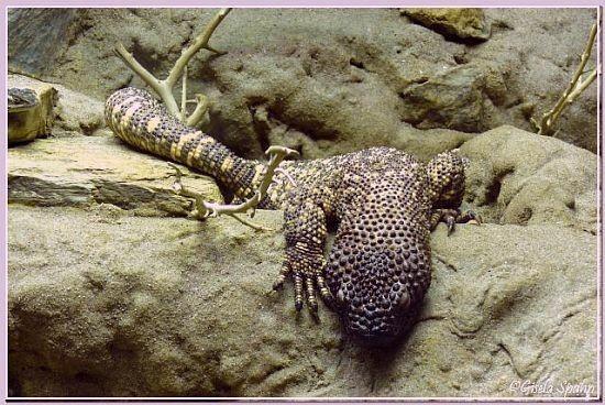 Skorpions-Krustenechse