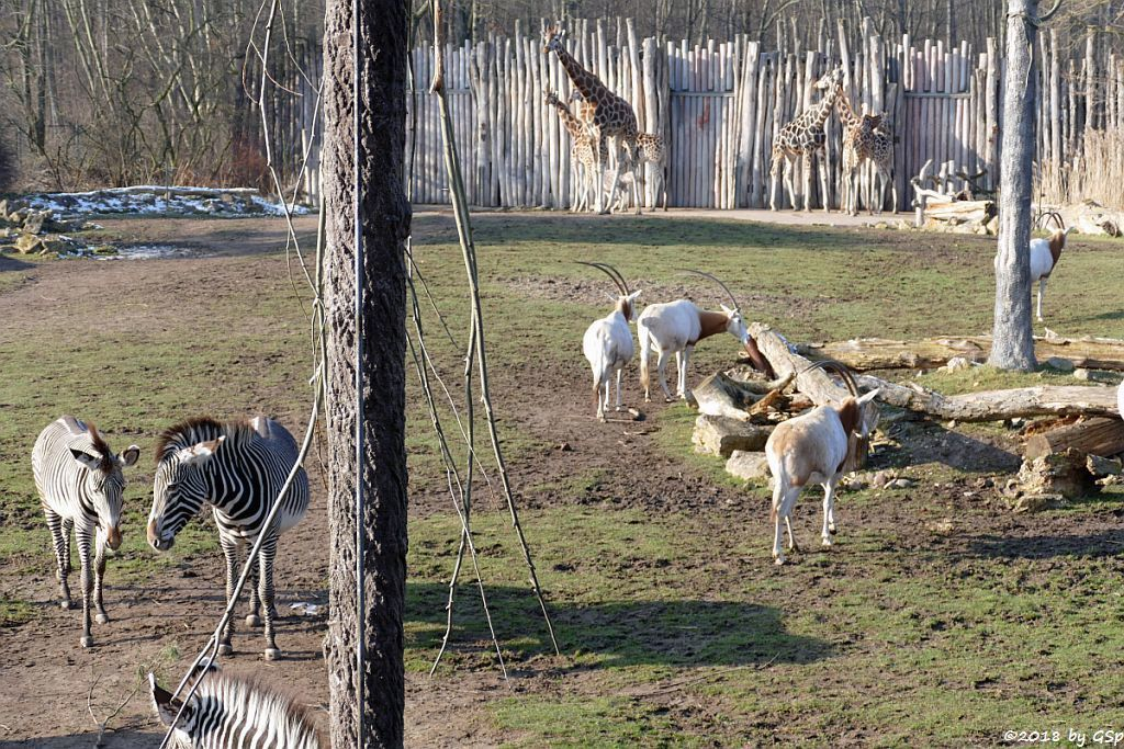 Grévy-Zebra, Säbelantilope, Rothschildgiraffe (Uganda-Giraffe, Baringo-Giraffe),