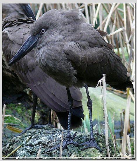 Schattenvogel (Hammerkopf)