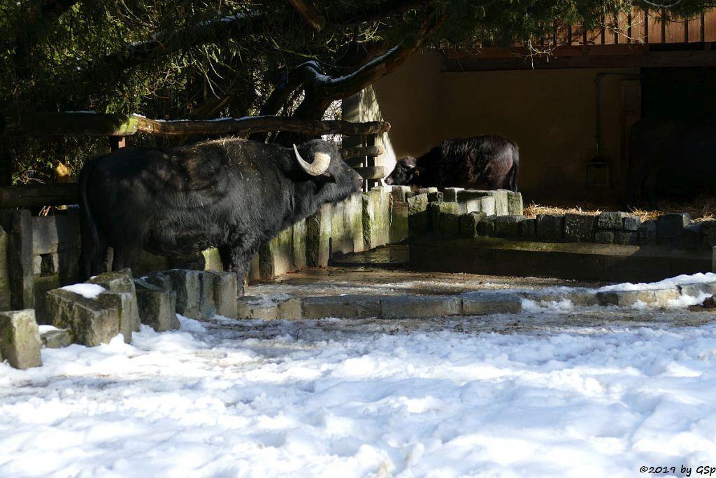 Südeuropäischer Hauswasserbüffel