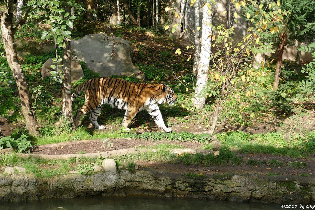 Amurtiger (Sibirischer Tiger, Mandschu-Tiger) TOMAK
