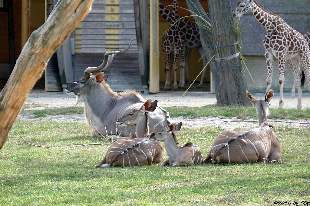 Netzgiraffe, Großer Kudu