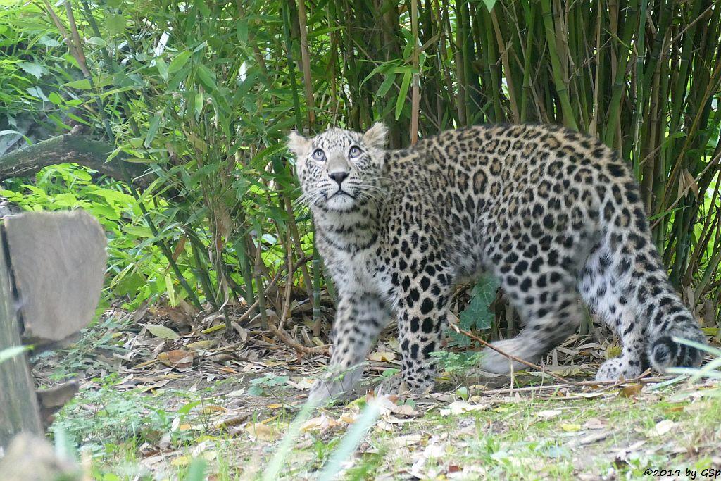 Nordpersischer Leopard (Afghanischer Leopard), geb,3.4.19