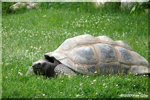 Adabra-Riesenschildkröte