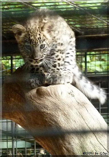 Persischer Leopard -Jungtier geb. am 3.7.11