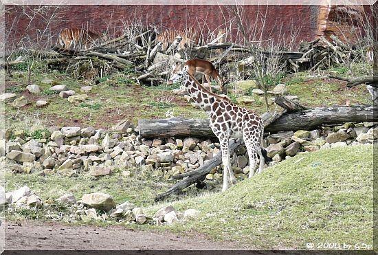 Rothschildgiraffe und Impala in der Busch-Baumsavanne