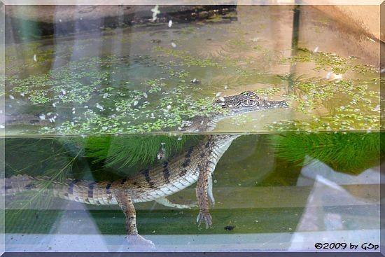 Australisches Süßwasserkrokodil, geschlüpft am 25.03.09 (4 Wochen alt