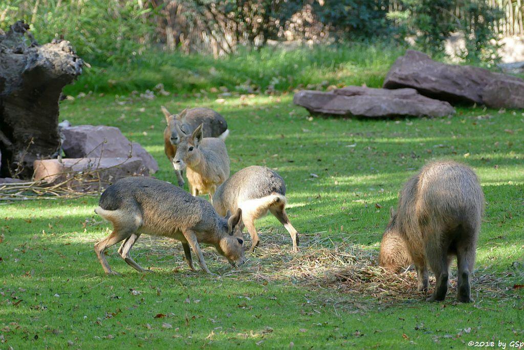Großer Pampashase (Große Mara, Großer Mara), Wasserschweien (Capybara)