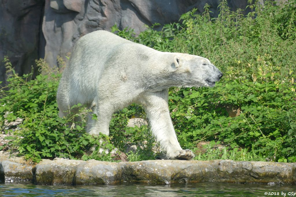 Eisbär (Polarbär) BILL
