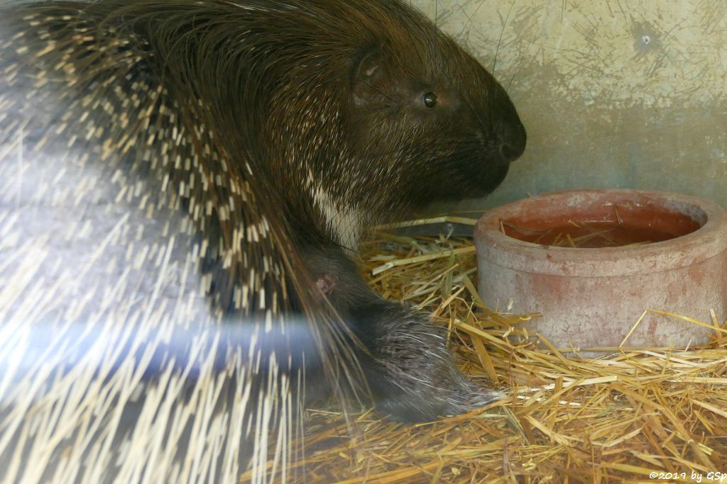 Weißschwanz-Stachelschwein (Indisches Stachelschwein), Jungtier 1 Tag alt