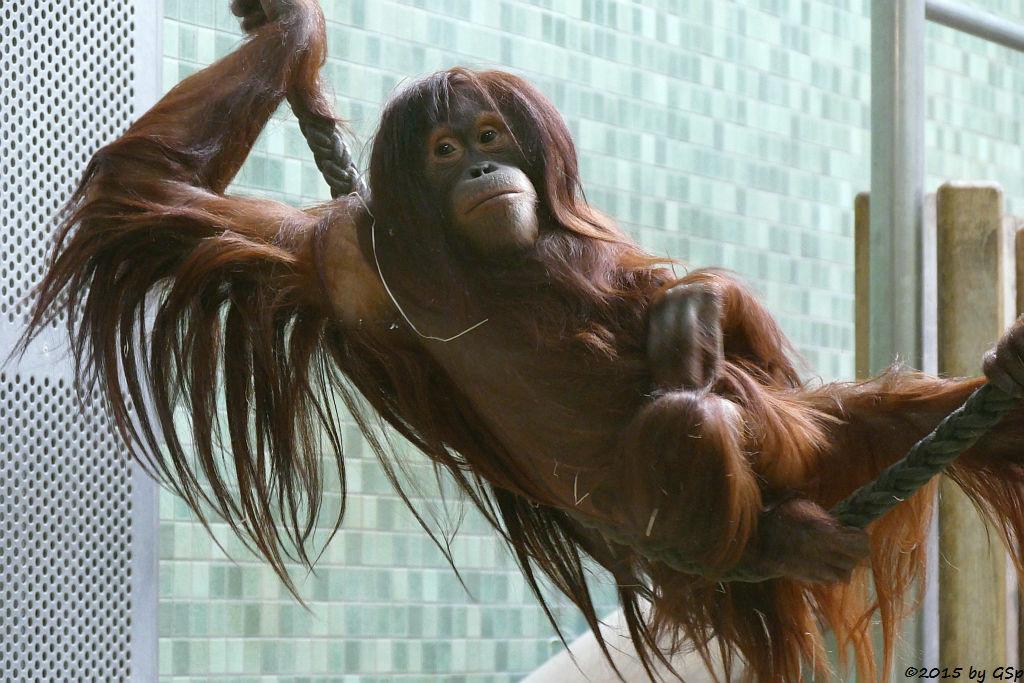 Sumatra-Orang-Utan DJASINGA, Mama von RIEKE