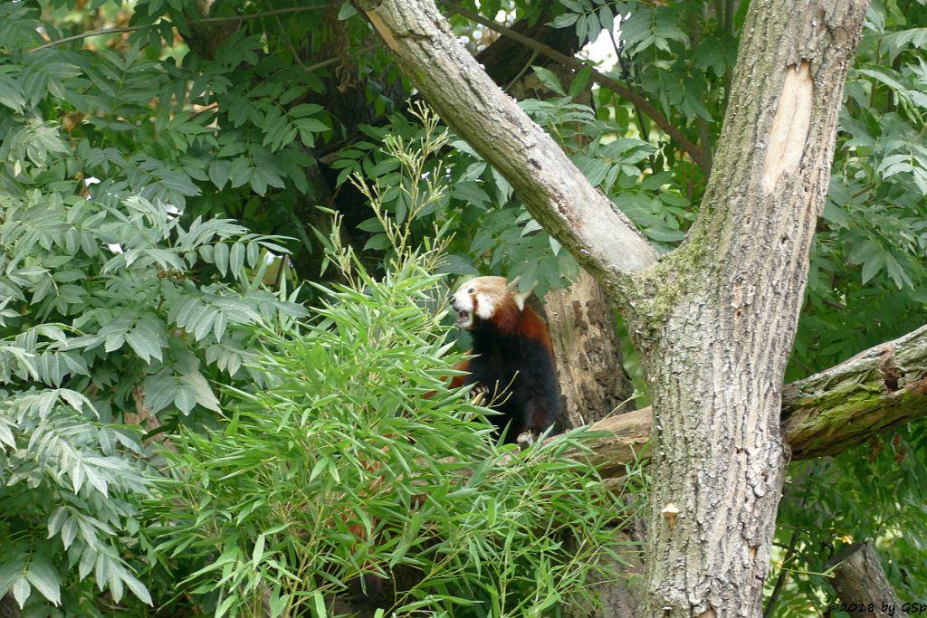 Westlicher Kleiner Panda (Westlichger Katzenbär, Nepalesischer Roter Panda)