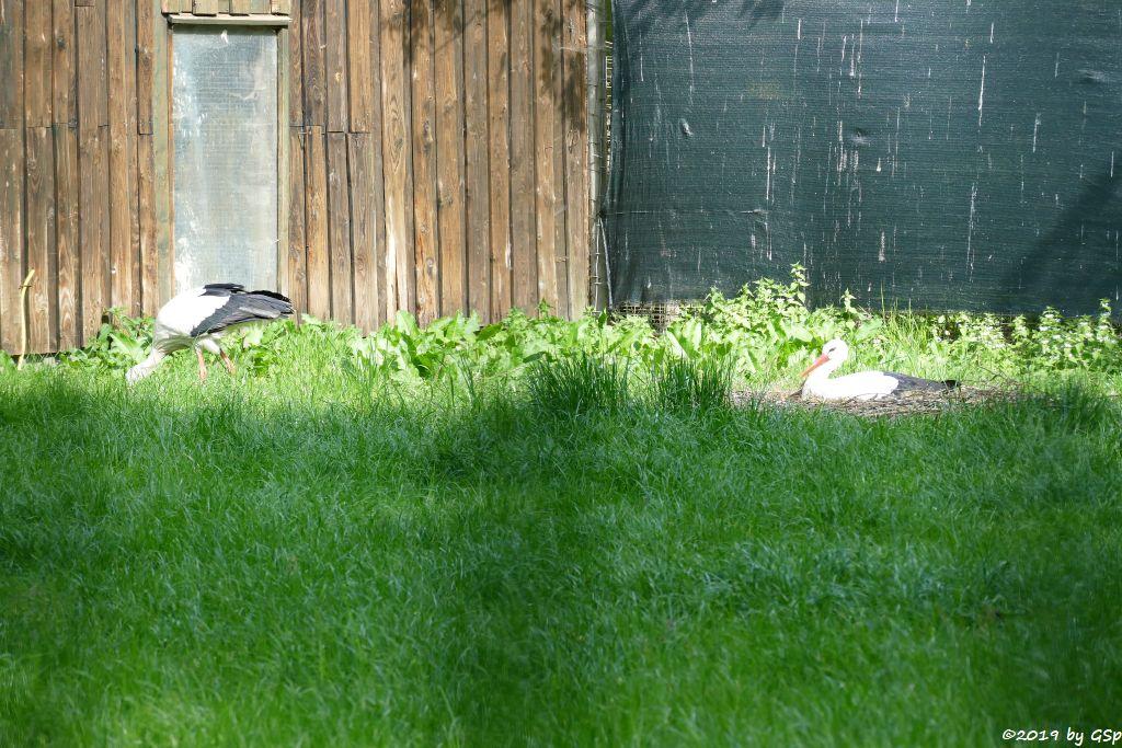 Europäischer Weißstorch