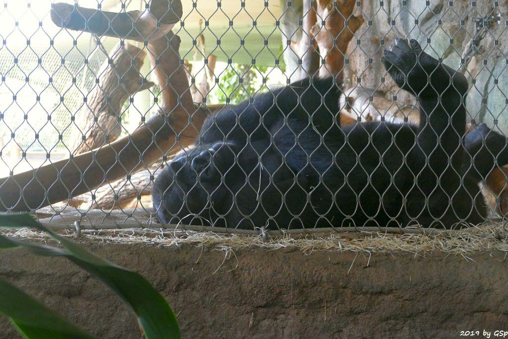 Westlicher Flachlandgorilla (Westlicher Gorilla)