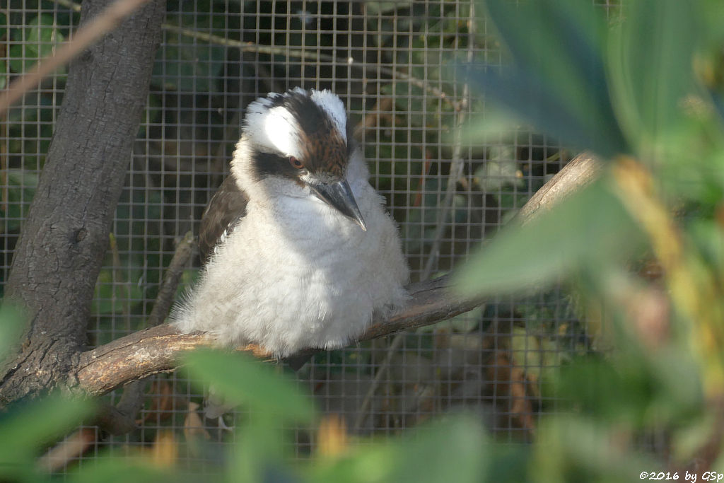 Jägerliest (Lachender Hans, Kookaburra)