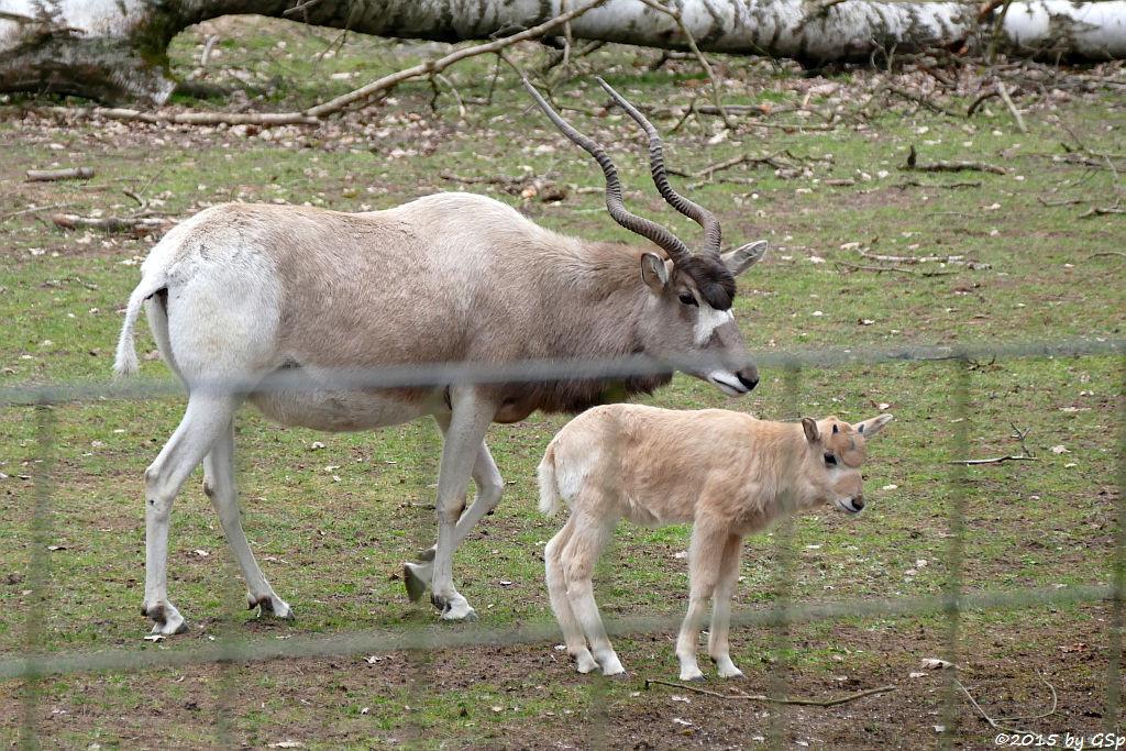 Addax (Mendesantilope)