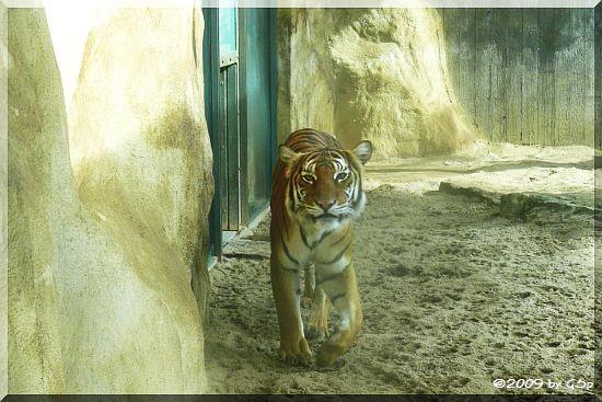 Malaysischer Tiger