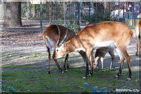 Kafue-Litschi-Moorantilope