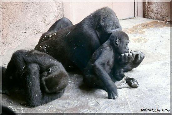 Flachland-Gorilla TATU mit seiner Familie