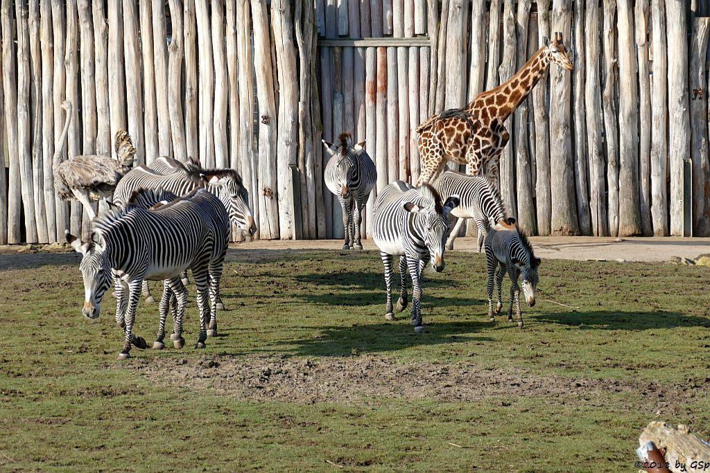 Nordafrikanischer Strauß (Nordafrikanischer Rothalsstrauß), Grévy-Zebra, Rothschildgiraffe (Uganda-Giraffe, Baringo-Giraffe)